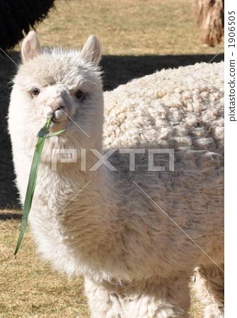 Peru's alpaca 1906505