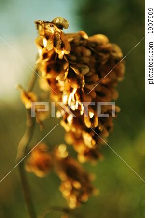 種子 日本虎杖 蓼科(植物學) 1907909