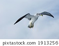 black-headed, gull, black‐headed 1913256