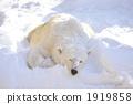 Snow Polar Bear 2 1919858