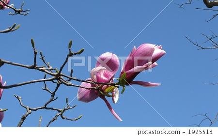 Blue sky and magnolia 1925513