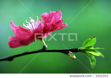 Peach blossoms 1932201