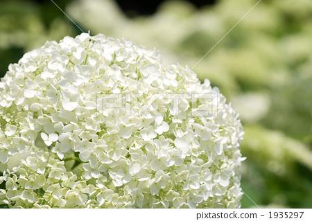 Annabelle flowers 1935297