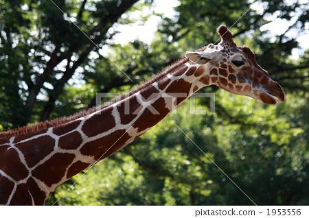 陆生动物 长长的脖子 长颈鹿 1953556