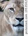 육상동물, 사자, 라이언 1953562