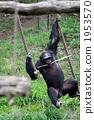 육상동물, 전신, 침팬지 1953570