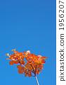 Mitsuba Azalea autumn leaves 1956207