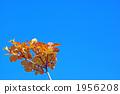 Mitsuba Azalea autumn leaves 1956208