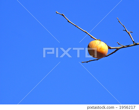 The coloring persimmon fruit 1956217
