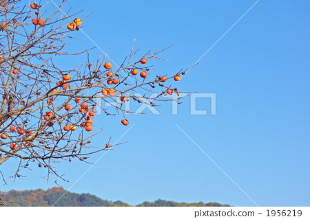 The coloring persimmon fruit 1956219
