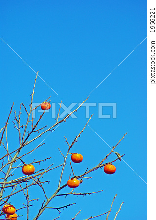 The coloring persimmon fruit 1956221