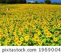 ทานตะวัน 24 กรกฎาคม·ครอบครัว Asteraceae 24 กลุ่ม 1969004