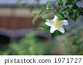 ถั่วเหลืองดอกไม้แห่งกิออน 1971727
