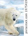 Polar bears 1975419