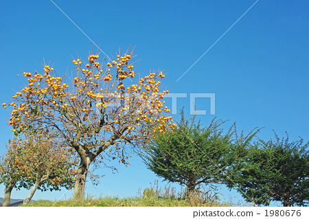 Persimmon tree of the bank 1980676