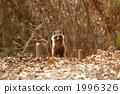 너구리, 육상동물, 야생 1996326