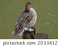 針尾鴨 尖尾鴨 冬候鳥 2011412