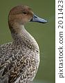 針尾鴨 尖尾鴨 冬候鳥 2011423