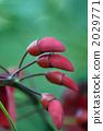 ceibo, tree, red 2029771