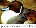 候鸟 针尾鸭 鸭子 2033720