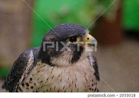 遊隼 鷹 野生鳥類 2053018