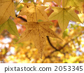 sweetgum, yellow leafe, autumn leafe 2053345