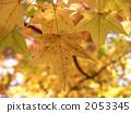 sweetgum, liquidambar styraciflua, autumn leafe 2053345