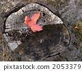 枯叶 松树 红叶 2053379