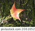 sweetgum, liquidambar styraciflua, falling leafe 2061652