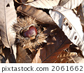 chestnut, botanic, fruit 2061662