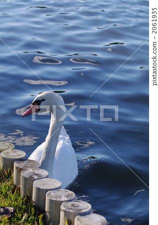 mute swan, bird, birds 2061935