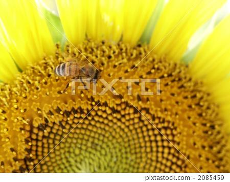 해바라기 꿀벌 2085459