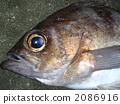 black rockfish, sebastes inermis, fish 2086916