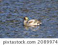 冬候鳥 阿納斯黃花 候鳥 2089974