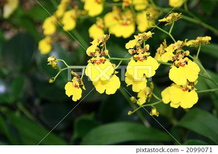 Fuchsia trifilla 2099071