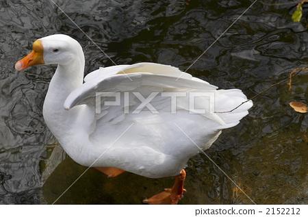 goose, geese, avian 2152212