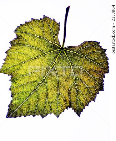 포도의 잎의 잎맥 2153964