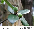 phillyraeoides, of, acorn 2169477