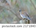 白腹鶇 冬候鳥 野生鳥類 2171840