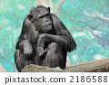 Chimpanzee 2186588