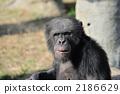 Chimpanzee 2186629