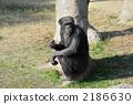 Chimpanzee 2186630