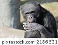 Chimpanzee 2186631