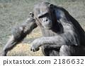 Chimpanzee 2186632