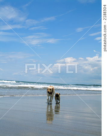 Labrador and Pug 2188304