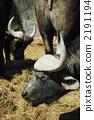 terrestrial, animal, african 2191194