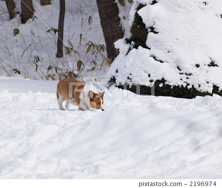 Corgi playing in the snow park 2196974