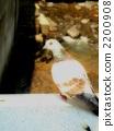 鴿子 鴿 鳥兒 2200908