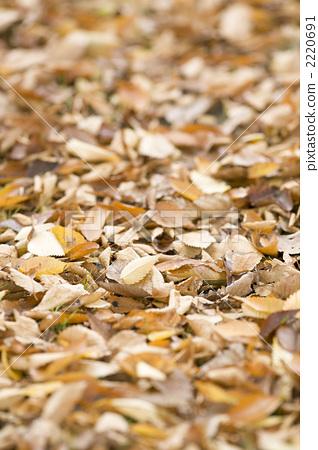 Leaves of yellow leaves Zelkova 2220691