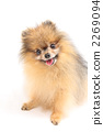 Smiley Pomeranian 2269094